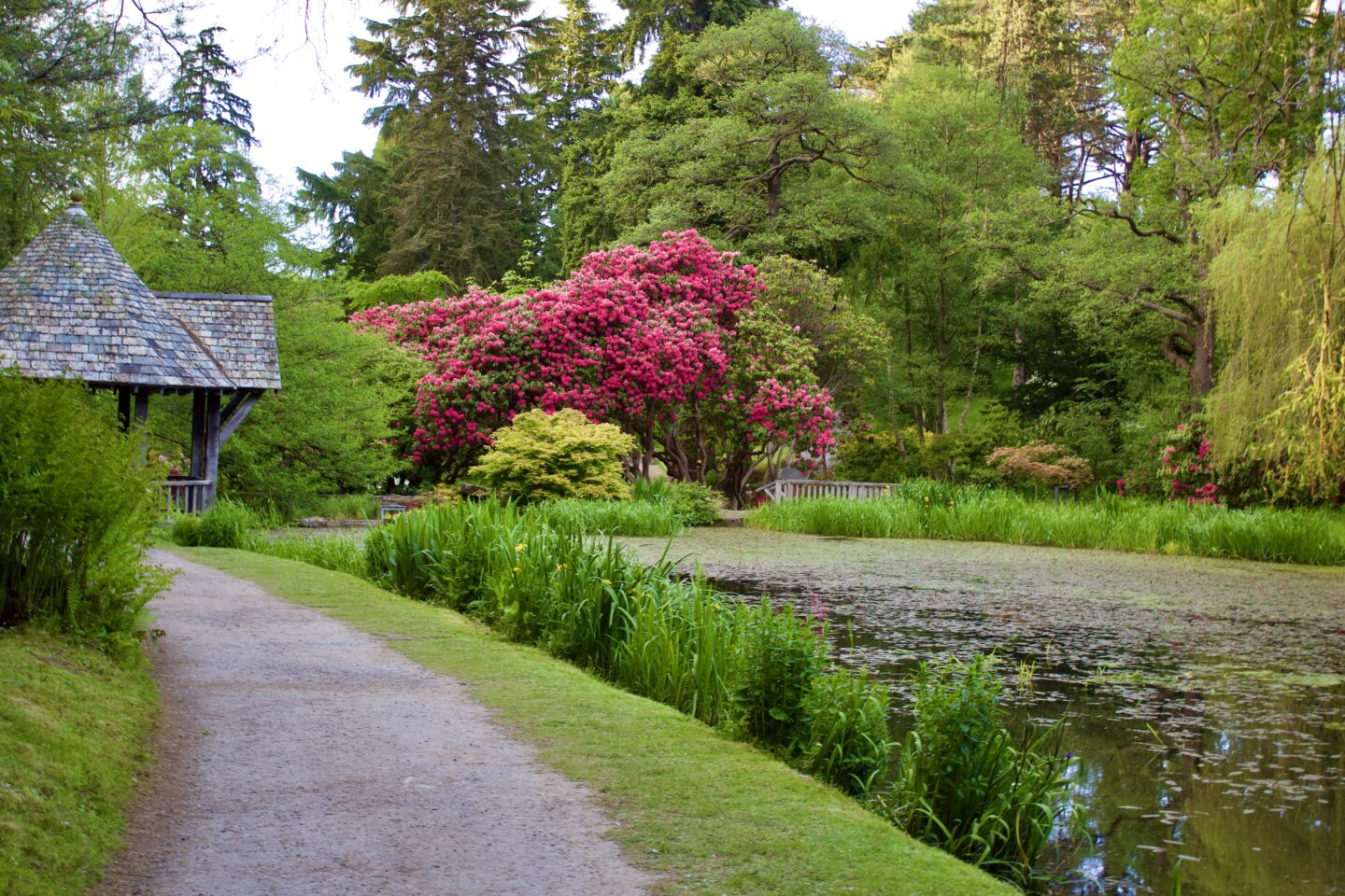 A tree with bright pink flowers on it stands beyond a small lake, it's surrounded by greenery and a corner of a boathouse can be seen on the left